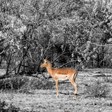 Awesome South Africa Collection Square - Impala in Savannah B&W