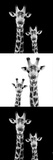 Safari Profile Collection - Two Giraffes III