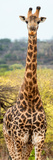 Awesome South Africa Collection Panoramic - Giraffe Portrait III