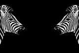 Safari Profile Collection - Zebras Face to Face Black Edition