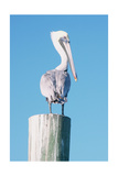 Pelican Perched I