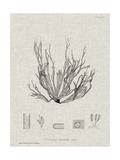 Charcoal & Linen Seaweed I