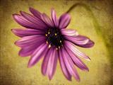 Fuchsia Daisy IV