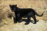 Black Jaguar (Panthera Onca) Kitten  Captive