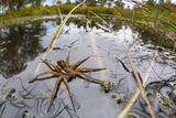 Raft Spider (Dolomedes Fimbriatus) Female on Heathland Pool