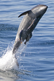 Common Bottlenose Dolphin (Tursiops Truncatus) Breaching with Two Suckerfish - Remora Attached