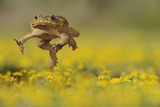 Cane Toad - Marine Toad - Giant Toad (Bufo Marinus) Adult Jumping