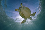 Green Turtle (Chelonia Mydas) with Rays of Sunlight  Akumal  Caribbean Sea  Mexico  January