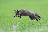 Red Fox (Vulpes Vulpes) Pouncing in Grass Vosges  France  July