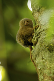 Pygmy Marmoset (Callithrix Pygmaea) Next to the Tiputini River