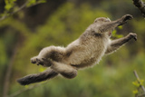 Yunnan Snub-Nosed Monkey (Rhinopithecus Bieti) Jumping from Tree to Tree