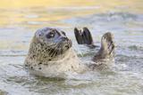 Adult Female Common - Harbour Seal (Phoca Vitulina) 'Sija' Waving a Flipper Papier Photo par Nick Upton