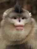 Yunnan Snub-Nosed Monkey (Rhinopithecus Bieti) Portrait  Ta Chen Np  Yunnan Province  China