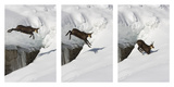 Chamois (Rupicapra Rupicapra) Jumping over Crevasse in the Snow  Abruzzo National Park  Italy