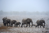 African Elephant (Loxodonta Africana) Herd with Calves