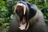 Adult Male Drill (Mandrillus Leucophaeus) Yawning