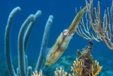 Caribbean Reef Squid (Sepioteuthis Sepioidea) Amongst Gorgonians  on a Shallow Coral Reef