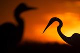 Great White Egret (Ardea Alba) Silhouetted at Sunset  Lake Csaj  Pusztaszer  Hungary  February