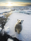 Polar Bear (Ursus Maritimus) Standing on Ice Floe  Looking at Camera Svalbard  Norway August