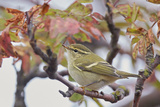 Yellow Browed Warbler (Phylloscopus Inornatus) Perched on Twig  Uto  Finland  September