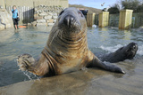 Blind Adult Male Grey Seal (Halichoerus Grypus) 'Marlin' Waving a Flipper