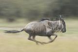 Blue Wildebeest (Connochaetes Taurinus) Running  Masai Mara  Kenya