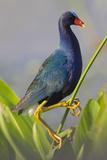 Purple Gallinule (Porphyrula Martinica) Adult Wakodahatchee Wetlands  Florida  USA  May