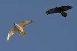 Raven (Corvus Corax) Mobbing Gyrfalcon (Falco Rusticolus)