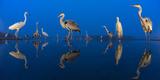 Little Egret (Egretta Garzetta) and Grey Herons (Ardea Cinerea) Reflected in Lake at Twilight