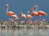 Caribbean Flamingo (Phoenicopterus Ruber) Adults Guarding Chick