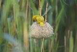 Male African Golden Weaver (Ploceus Subaureus) Tending to its Nest in Reedbeds