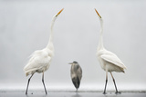 Two Great Egrets (Ardea Alba) Standing Opposite Each Other with Grey Heron (Ardea Cinerea)