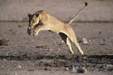 Lioness Jumping over Water (Panthera Leo) Etosha Np  Namibia
