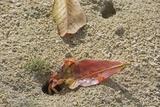 Blackback Land Crab (Gecarcinus Lateralis) Dragging Leaf into Burrow  Barbados