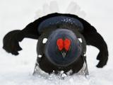 Male Black Grouse (Tetrao - Lyrurus Tetrix) in Snow  Utajarvi  Finland  May
