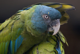 Blue Headed Macaw (Primolius Couloni) One Stretching its Wing over Another