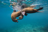 Galapagos Sea Lions (Zalophus Wollebaeki) Young Playing in Shallow Water