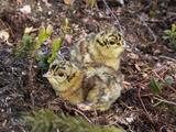 Two Capercaillie (Tetrao Urogallus) Chicks  Vaala  Finland  June