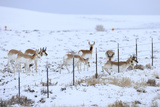Pronghorns (Antilocapra Americana) Crawling under Fence in Snow During Migration