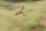 Klipspringer (Oreotragus Oreotragus) in Mid Leap  Karoo  South Africa  February