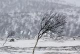 Willow Grouse (Lagopus Lagopus) Flock in Flight in Snow  Utsjoki  Finland  October