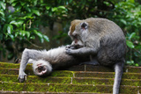 Crab-Eating Macaque (Macaca Fascicularis) Grooming Bali  Indonesia