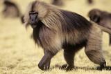 Gelada Baboon (Theropithecus Gelada) Endemic to Ethiopia  Simien National Park  Ethiopia