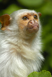 Portrait of a Silvery Marmoset (Mico - Callithrix Argentata)