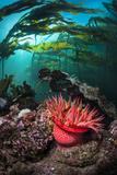 Strawberry Anemone (Utricina Lofotensis) Grows Beneath Bull Kelp Forest (Nereocystis Luetkeana)