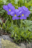 Long-Spurred Violet (Viola Calcarata) in Flower  Val Veny  Italian Alps  Italy  June