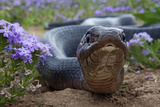 Texas Indigo Snake (Drymarchon Melanurus Erebennus) Close Up Amongst Vervain (Glandularia Sp