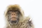 Barbary Macaque (Macaca Sylvanus) Portrait  Gibraltar Nature Reserve  Gibraltar  June