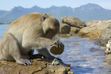 Adult Male Burmese Long Tailed Macaque (Macaca Fascicularis Aurea) Using Stone Tool to Open Oysters