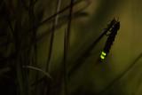 Glowworm (Lampyris Noctiluca) at Night  Cambridgeshire  England  UK  August